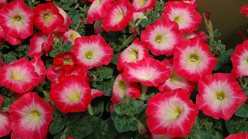 Předpěstujte si petúnie: mnohokvětá Mirage Red Morn