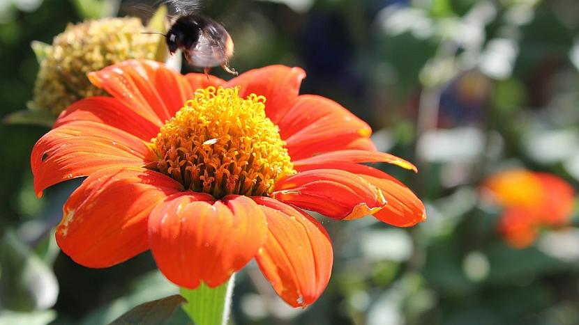 Přilákejte včelky na hostinu: Titonie (Tithonia)