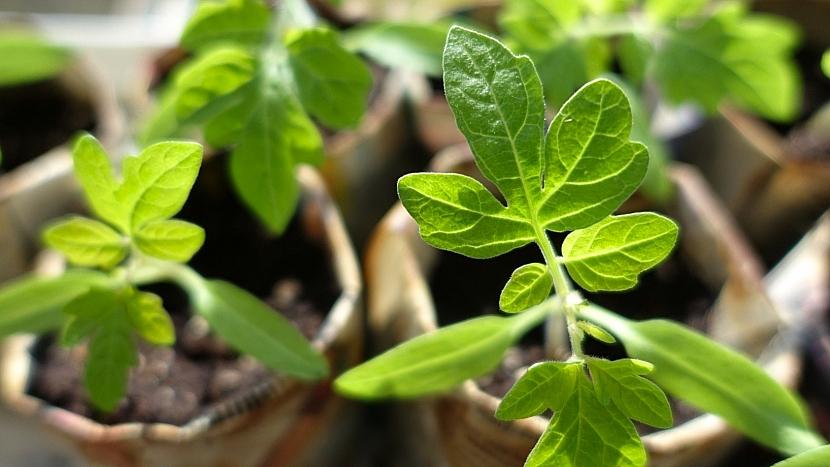 Předpověď počasí a zahrada: vysaďte rajčata a další teplomilnou zeleninu
