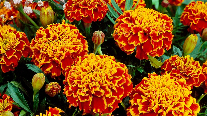 Aksamitník rozkladitý (Tagetes patula) Honeycomb