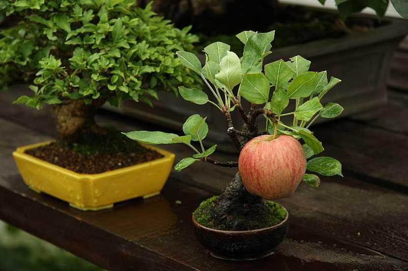 Bonsaj s jablkem