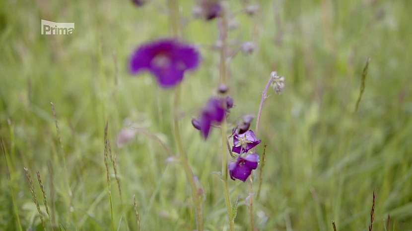 Na zahradě se přirozeně vyskytují i některé chráněné druhy rostlin