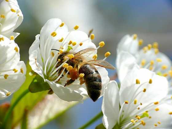 Letošní začátek včelařské sezony zabrzdily výkyvy teplot a včelaři netrpělivě čekají, až rozkvetou první ovocné stromy (Zdroj: Depositphotos)