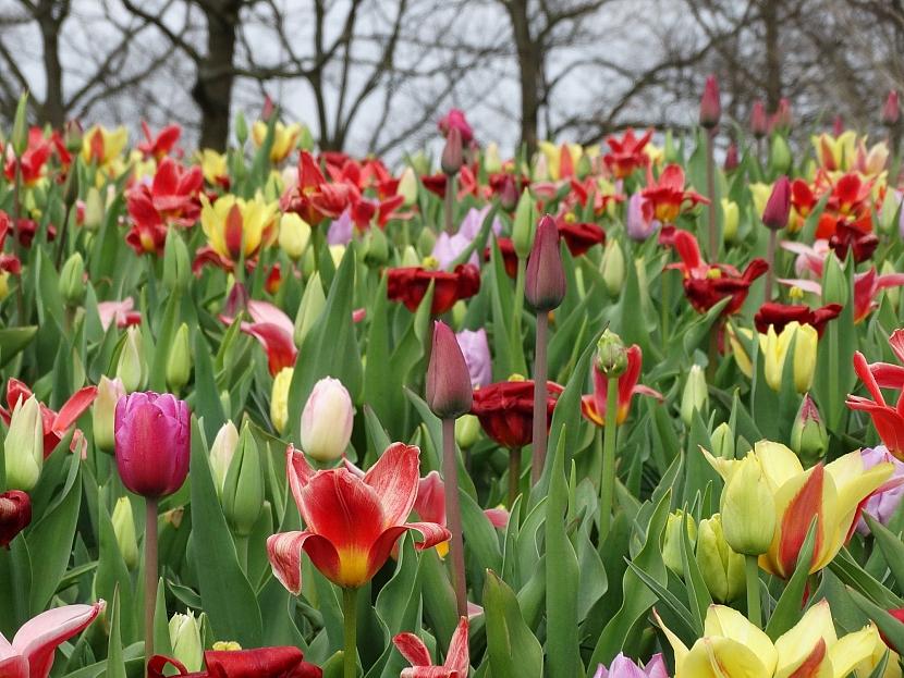 Záplava tulipánů
