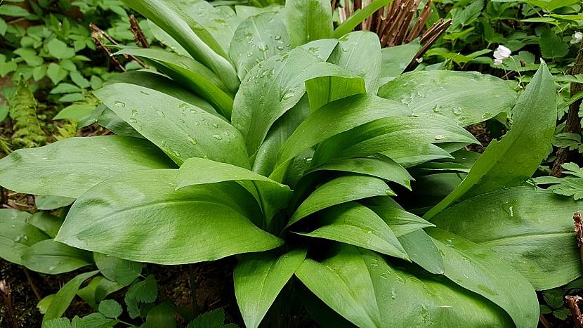 Česnek medvědí (Allium ursinum): ideální bylina pro jarní detoxikaci organismu