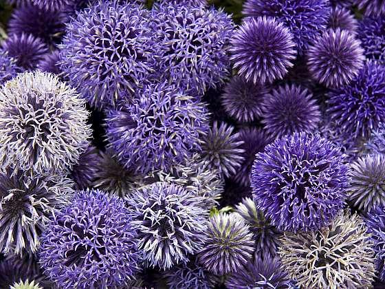Existuje několik druhů okrasného česneku a všechny krásně kvetou (Zdroj: Depositphotos (https://cz.depositphotos.com))