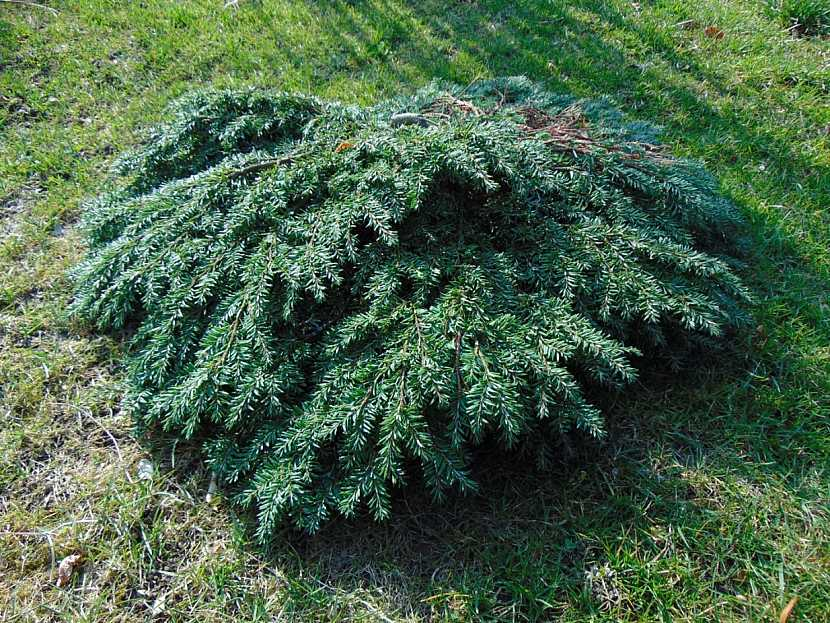 Čarověník z roubů rostliny Tsuga canadensis