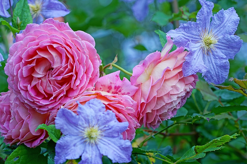 Růže a klematis