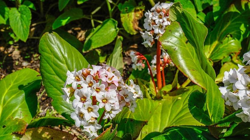 Bergénie srdčitolistá (Bergenia cordifolia)