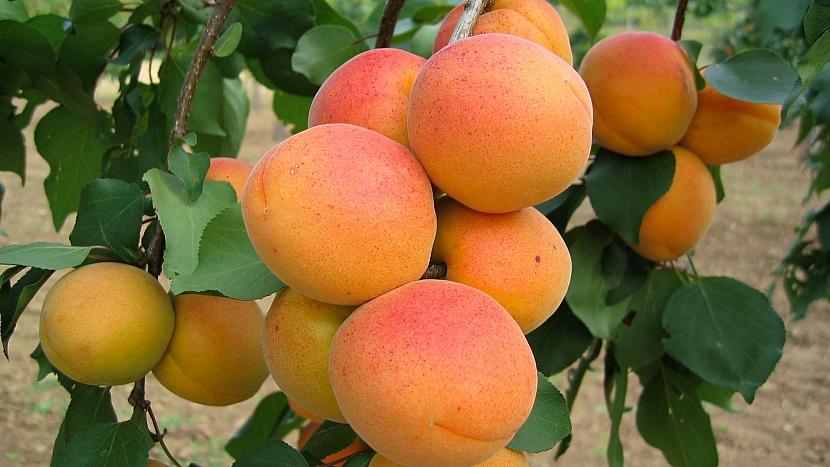 Meruňka obecná (Prunus armeniaca): odrůda Velkopavlovická je jedna z nejkvalitnějších