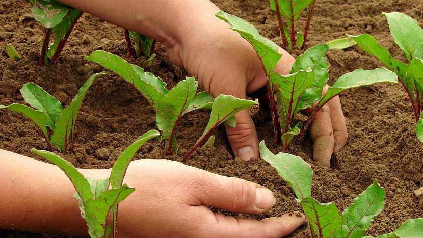 Jak pěstovat červenou řepu 3