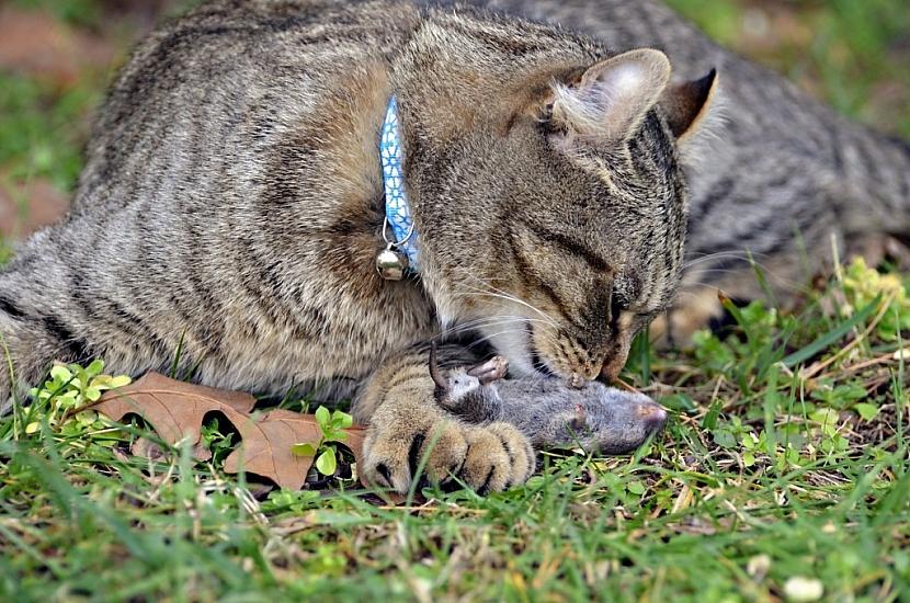 Kočka je pro krtka přirozený nepřítel