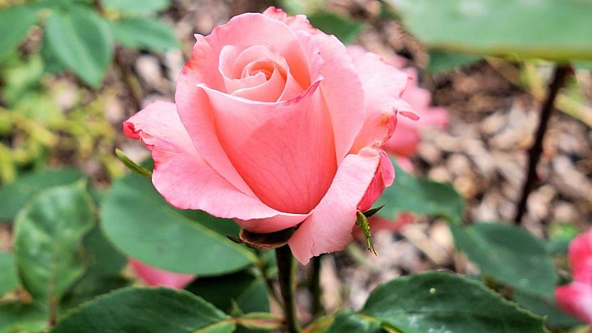 Zahradnický horoskop: Rak se neobejde bez růží