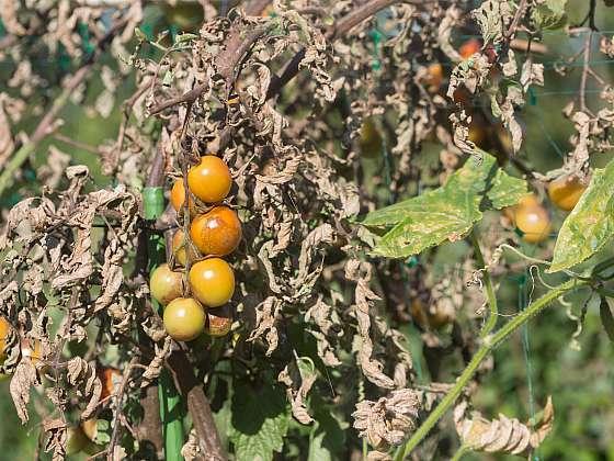 Plíseň bramborová decimuje porost rajčat, využijte přírodní postřik z česneku jako prevenci (Zdroj: Depositphotos)