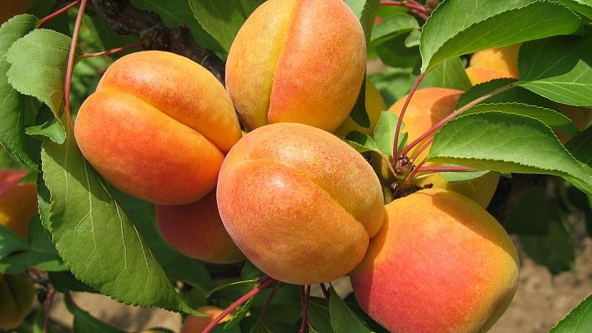 Meruňka obecná (Prunus armeniaca): česká odrůda Alfons má velké plody