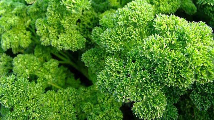 Petržel zahradní naťová kadeřavá: odrůda ASTRA