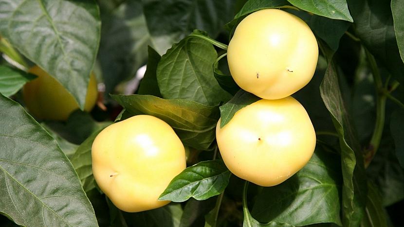 Paprika roční (Capsicum annuum): odrůda Jablina F1