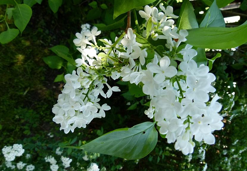 Bíle kvetoucí keře rozjasní každou zahradu 5