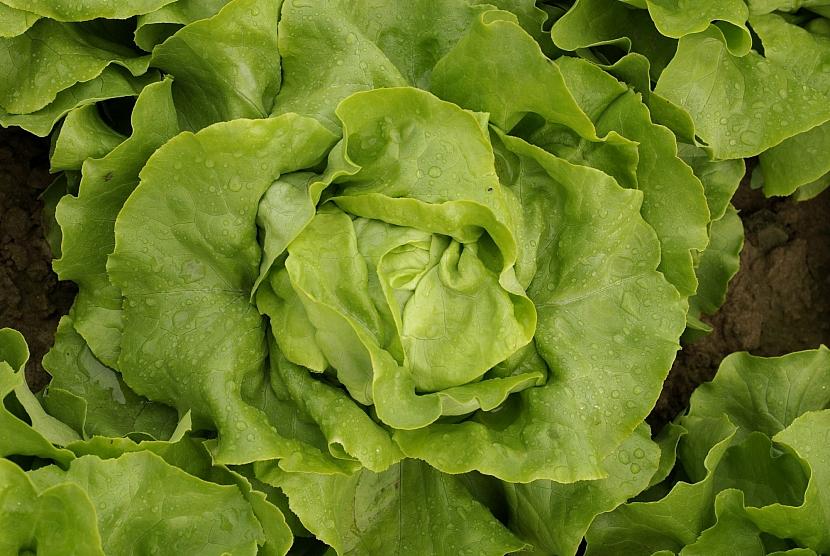 Salát odrůda Humil