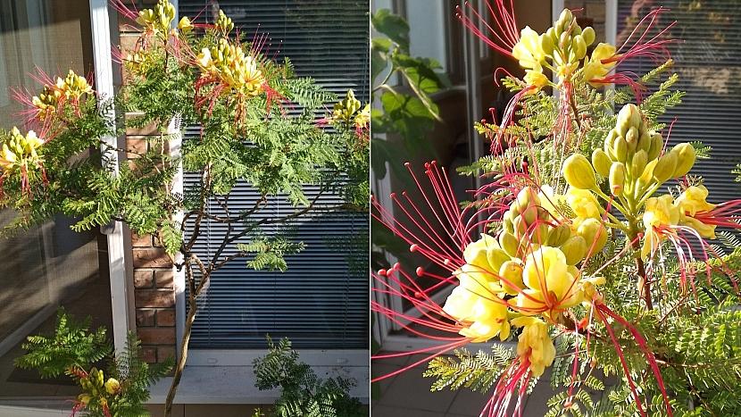 Sapan Gilliesův (Caesalpinia Gilliesii) na snímku je asi 8 let starý a vypěstovaný ze semínka.