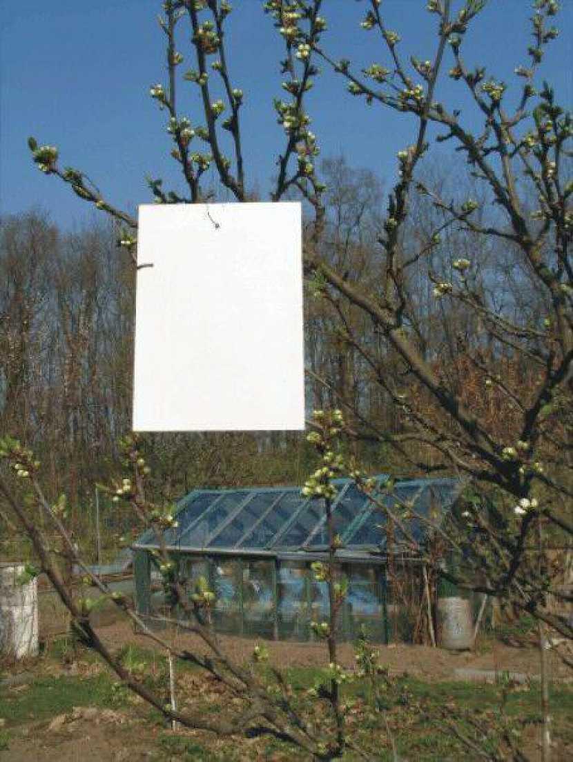 pilatka - bílé lepové desky před květem slivoní