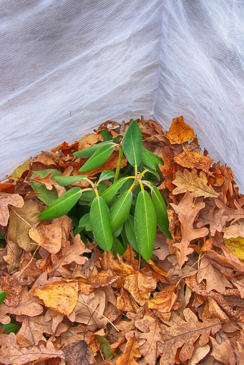 Takto může vypadat řádně provedená ochrana rostliny na zimu