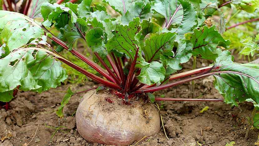 Jak pěstovat červenou řepu 4