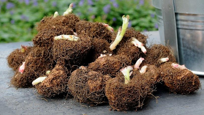 Stonkové hlízy begonie hlíznaté (Begonia)