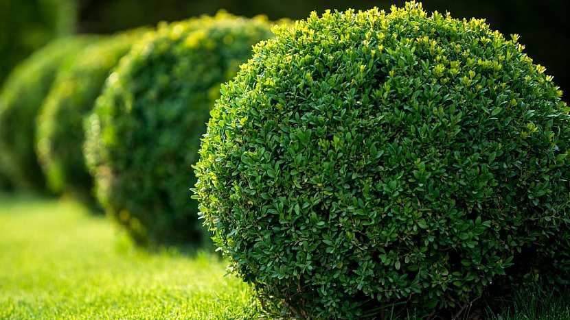 Rostliny vhodné do živého plotu: zimostráz(Buxus)