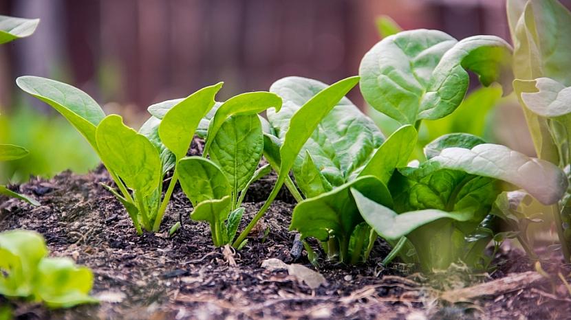 Předpověď počasí a zahrada: výsev jarní zeleniny