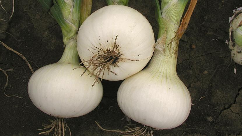 Pěstování cibule: pozdní odrůda bílé cibule Albienka