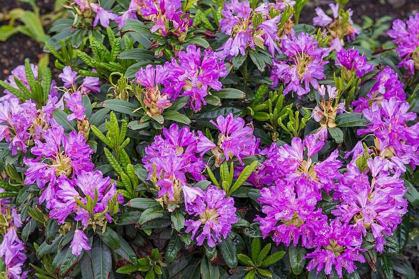 Pěnišník lila
