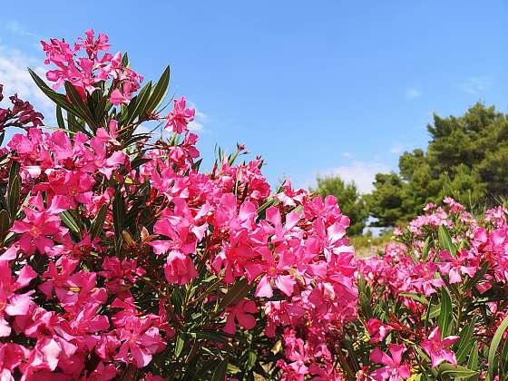 Aby oleandr krásně kvetl, je třeba ho pravidelně seřezávat (Zdroj: Depositphotos (https://cz.depositphotos.com))