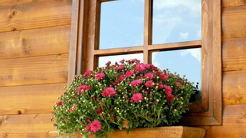 Hrnkové chryzantémy vyniknou v nádobách na okně, na terase či balkoně