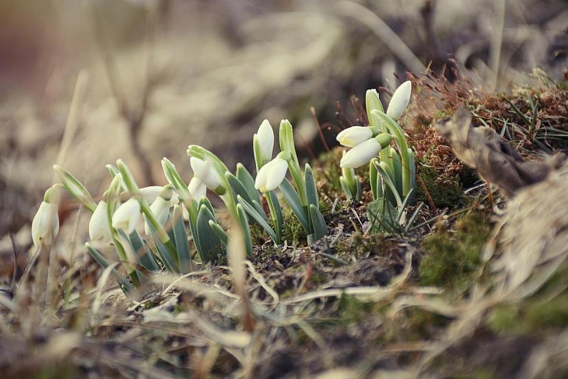 Sněženky: Otužilé cibuloviny dokáží falešně ohlašovat jaro i uprostřed zimy
