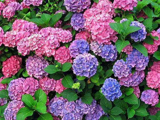 Barevné kultivary i méně známé druhy hortenzií (Zdroj: Depositphotos.com)