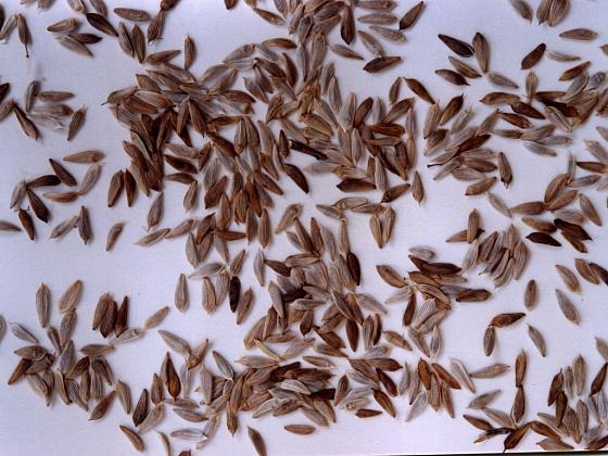 Začínáme se zkouškou klíčivosti zbylého osiva (Zdroj: Ludmila Dušková)