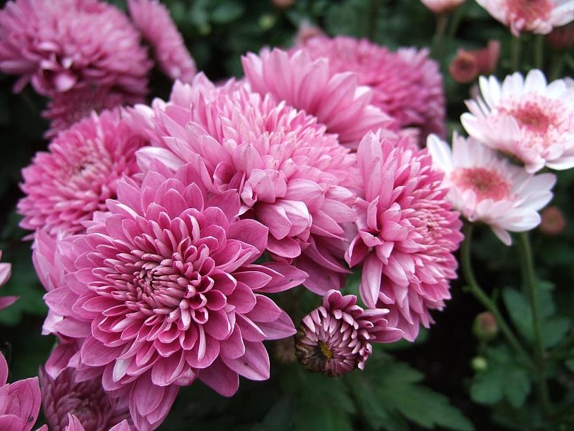 Drobnokvětá chryzantéma