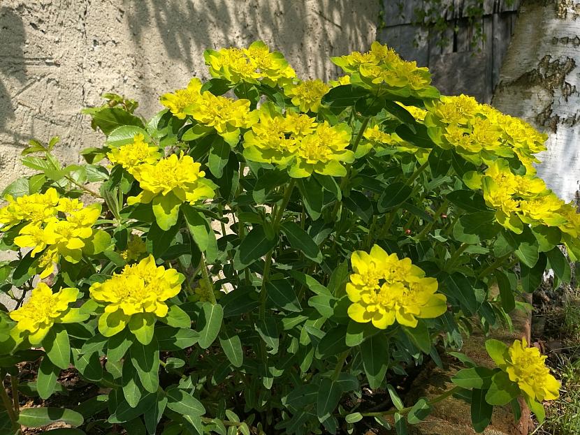 Pryšec mnohobarvý (Euphorbia polychroma purpurea)