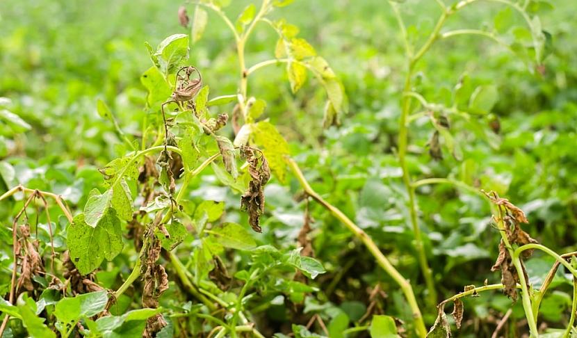 Plíseň může zasáhnout celé rostliny