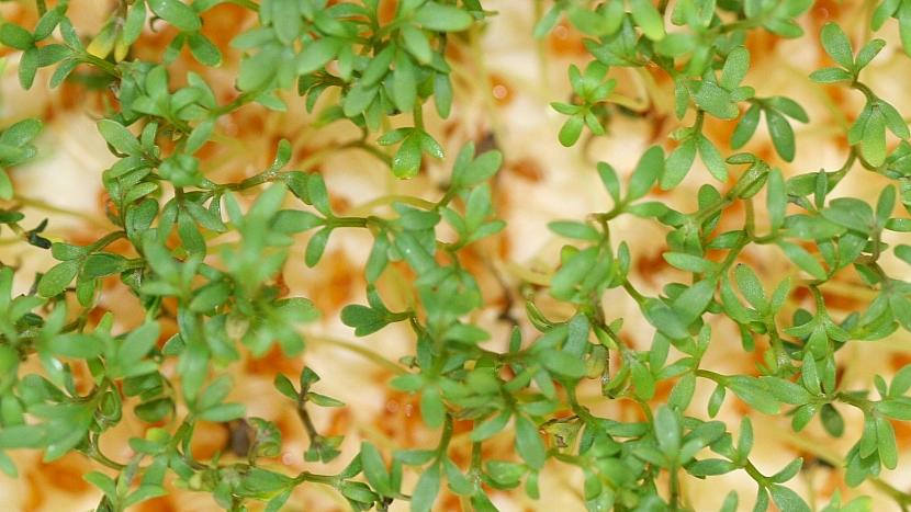 Jak vypěstovat čerstvou zeleninu v lednu: řeřicha zahradní (Lepidium sativum)