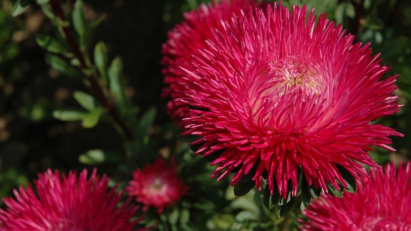 Astra čínská (Callistepus chinensis) zdobí podzimní zahradu až do prvních mrazů