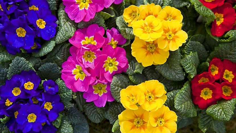 Co víte o pěstování petrklíčů: prvosenka jarní v bytě