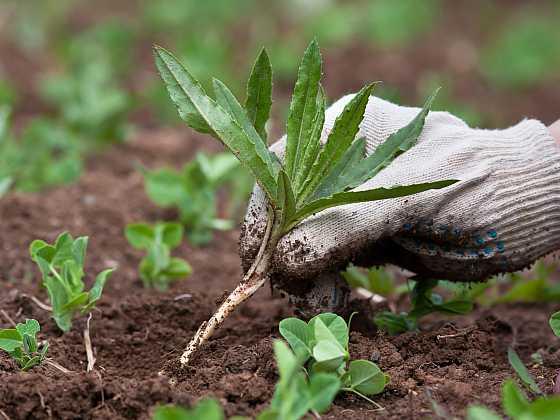 Nedejte plevelům šanci (Zdroj: Depositphotos)