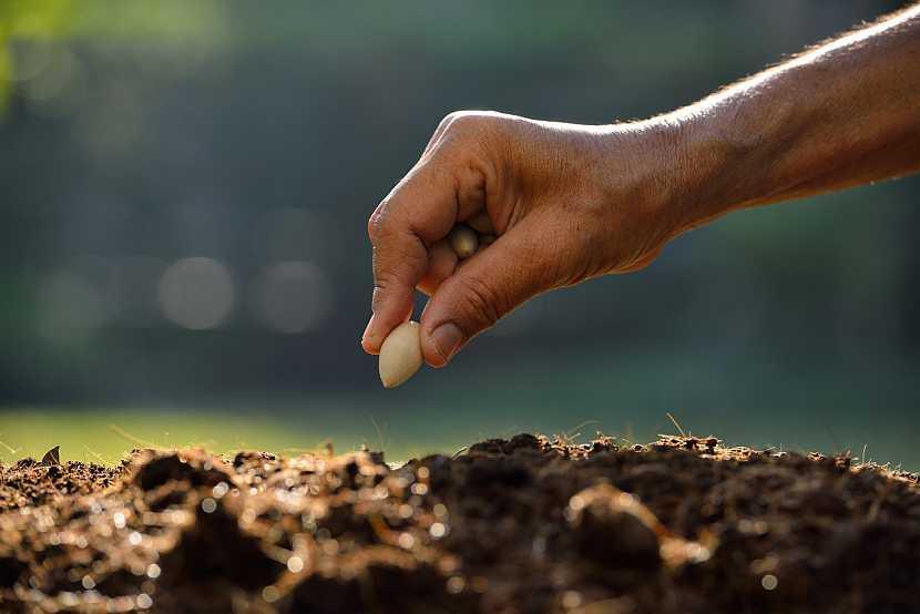 Výsev fazolí: semena vysévejtedo hnízd po 6-8 semenech do hloubky 5 cm