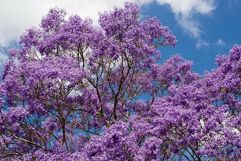 Stromy s nejkrásnějšími květy: Exotická krása rozkvetlých stromů 5