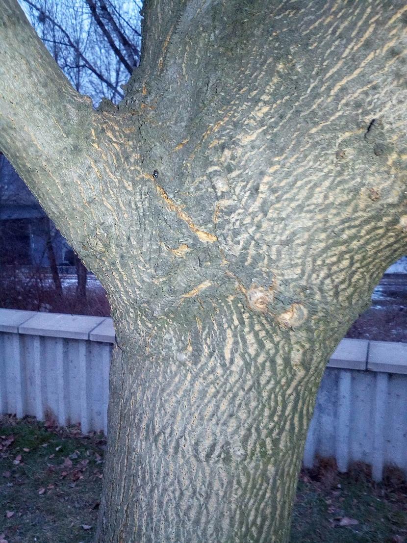 Škůdci přezimují za kůrou stromů
