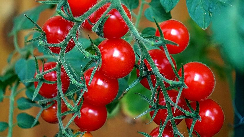 Semínka rajčat z vlastní zahrady: vyberte plody