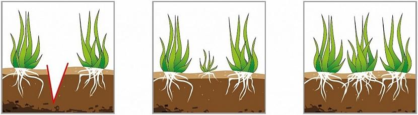 Jak funguje vertikutace: Nože vertikutátoru naříznou travní plochu (obr.1). Travní drn snadno odnožuje, trávník houstne (obr.2). Za několik týdnů se trávník zacelí novou trávou (obr.3).