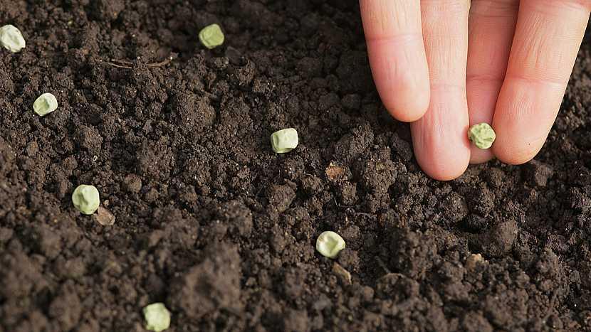 Hrách setý vysévejte do řádku vedle sebe asi 2 cm, nebo do hnízd po 4 semínkách